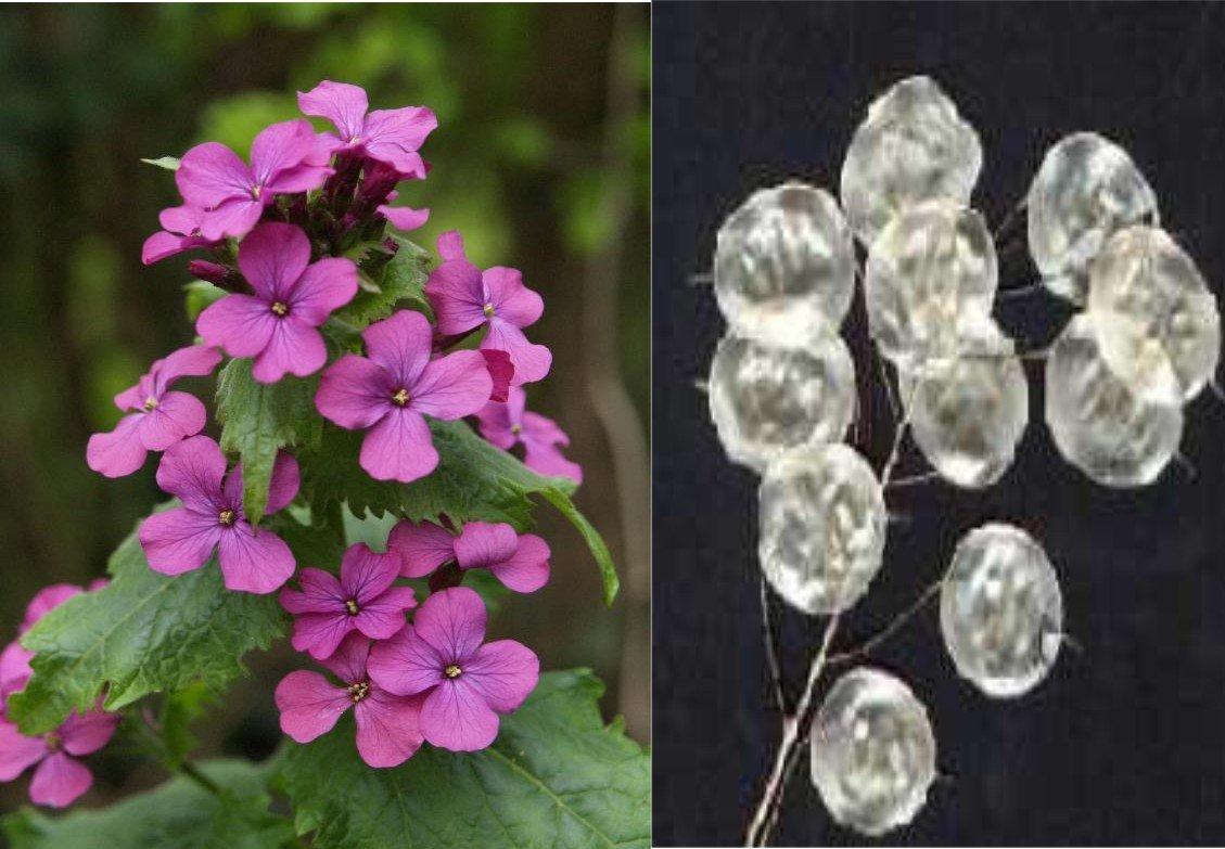 Amazon money or silver dollar plant seeds lunaria annua amazon money or silver dollar plant seeds lunaria annua flowering plants garden outdoor mightylinksfo