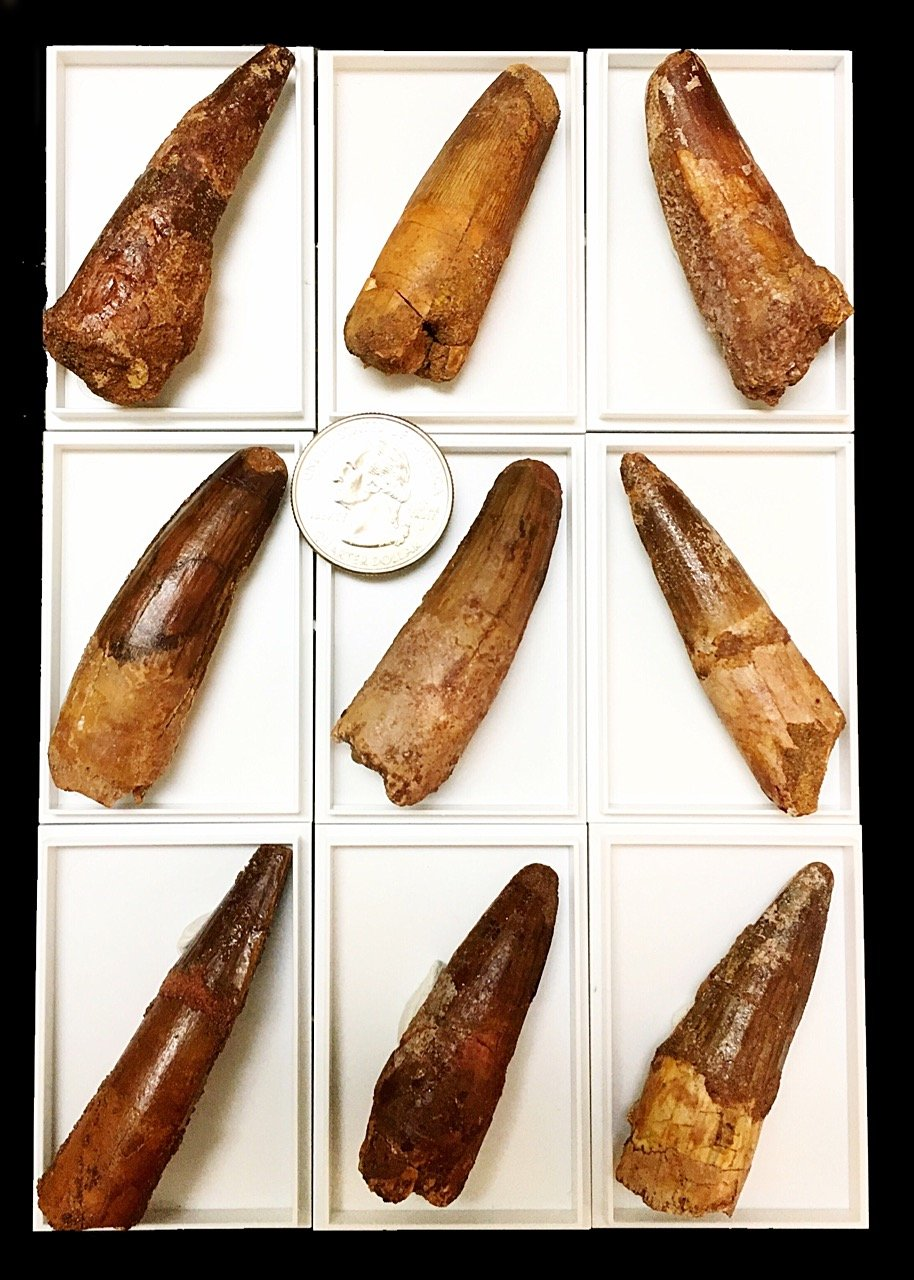 Genuine Large Spinosaurus Tooth with Display Case - 2 inches long! by goldnuggetminer (Image #4)