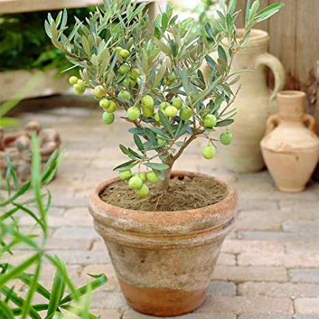 2 /× Olive Tree Indoor Plants from Botanicly Olea europeae Height: 50 cm