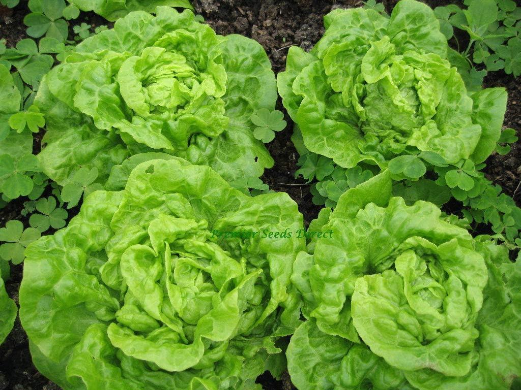 David's Garden Seeds Lettuce Butterhead Tom Thumb 7773 (Green) 500 Non-GMO, Heirloom, Seeds