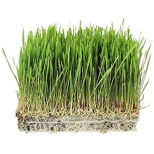 1 Lb Bag Organic Rye Grain Seeds - Rye Seed for Sprouting Rye Berries, Rye Seeds for Organic Rye Flour, Rye Meal, Rye Pasta, Marble Rye Bread, Rye Grain Berries, Cracked Rye Berries, and Rye Grass
