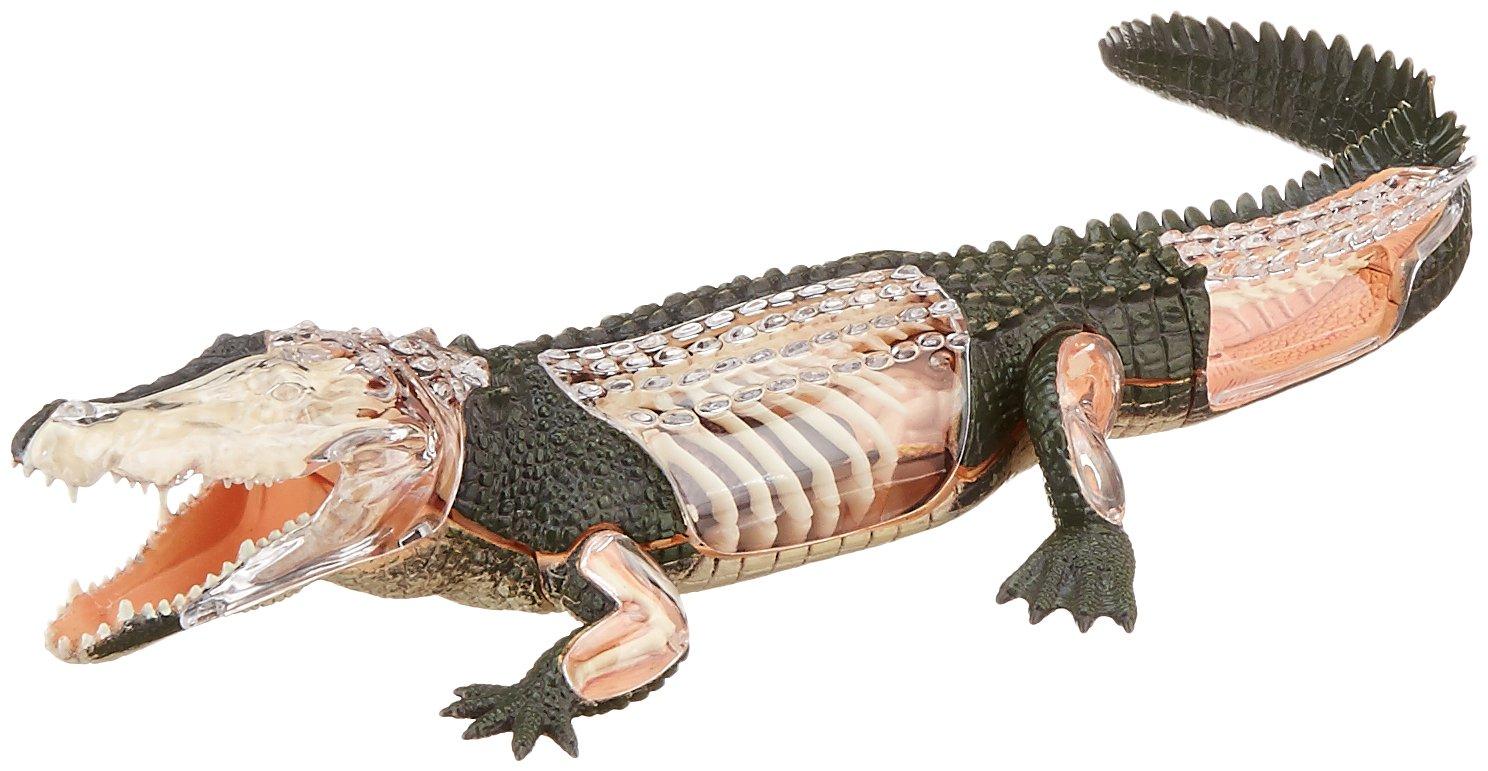 Amazon.com: Famemaster 4D Vision Crocodile Anatomy Model: Toys & Games