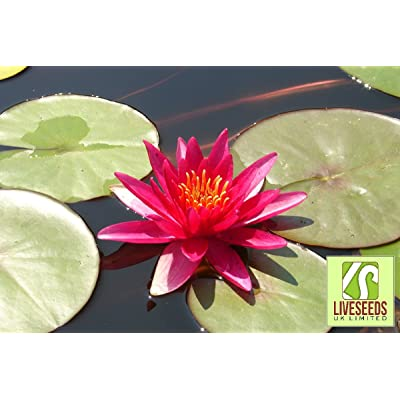 Liveseeds - 5 Blooming RED LOTUS (Sacred Water Lily / Lily Pad / Asian Water Lotus) Flower Seeds : Garden & Outdoor