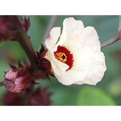 50 ROSELLE HIBISCUS Sabdariffa Fruit / Flower Seeds: Toys & Games
