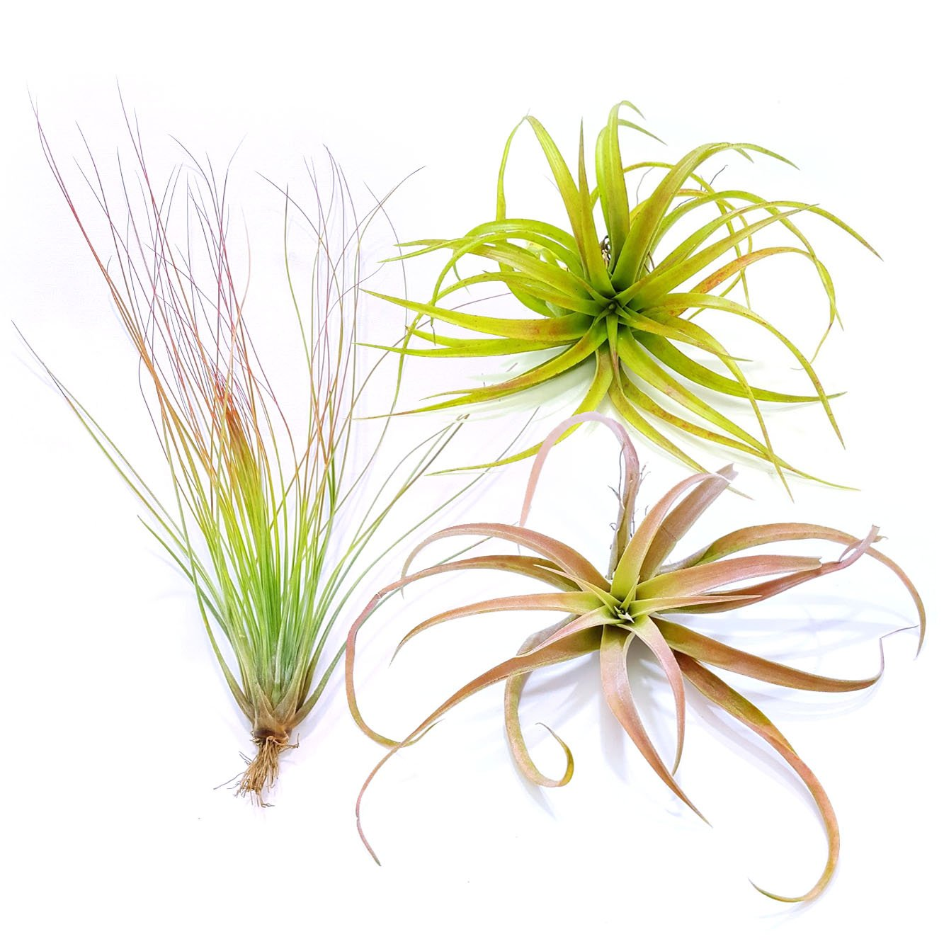 TDG The Drunken Gnome Tillandsia Air Plants Assorted Variety Pack, 3 X-Large