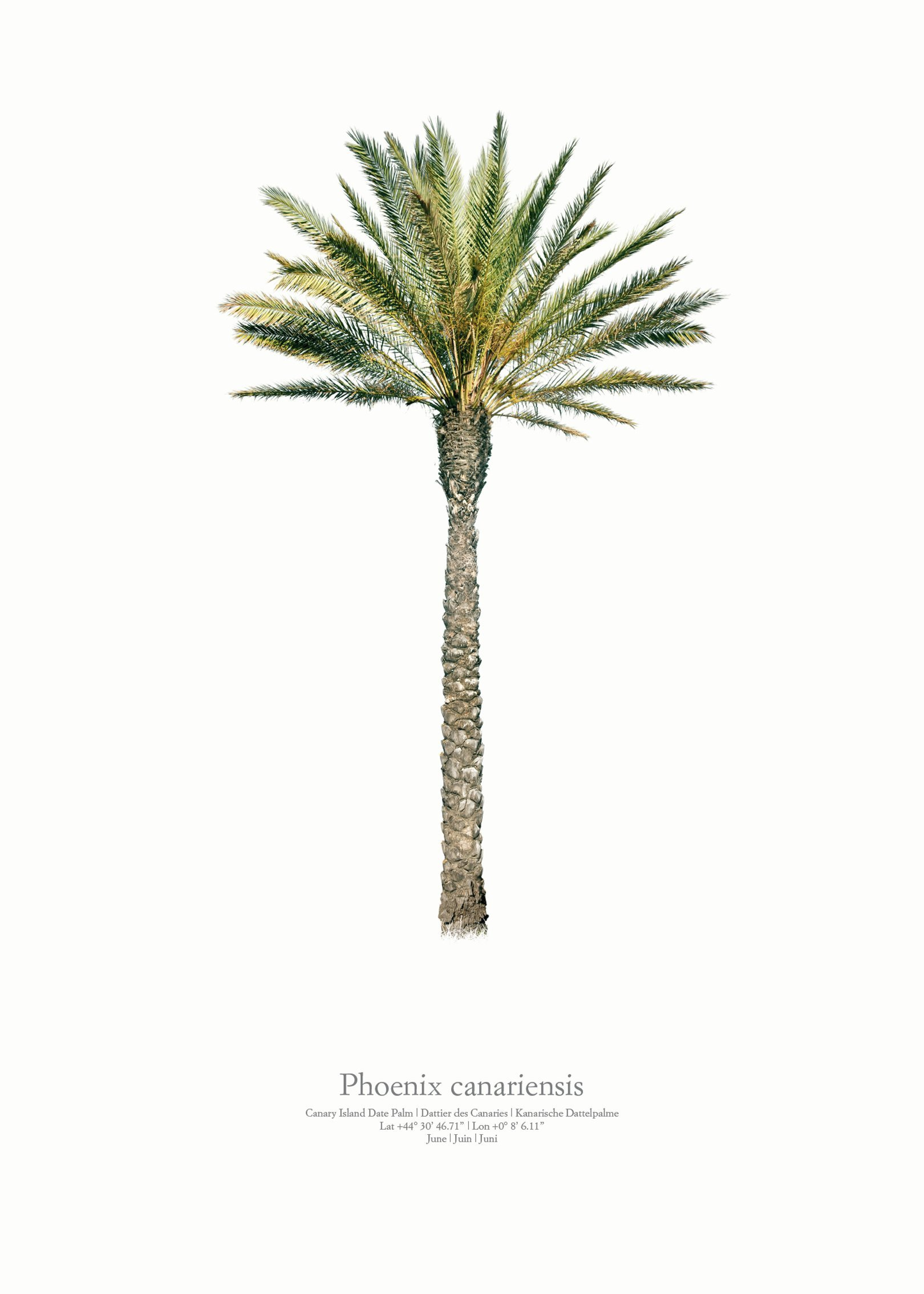 Phoenix canariensis by