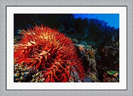 Amazon.com: Crown-of-Thorns Starfish at Daedalus Reef, Red Sea ...