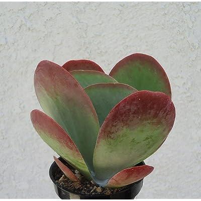 Large Kalanchoe Flapjacks Succulents Kalanchoe Thrysiflora : Garden & Outdoor