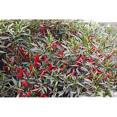 Rooster Spur Organic Hot Pepper Seeds (25 Seeds) : Garden & Outdoor