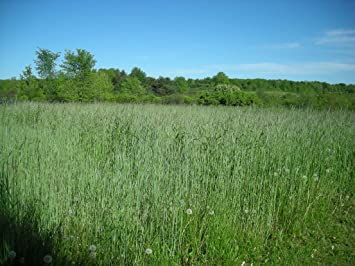 300 wrens abruzzi winter rye secale cereale grain vegetable seeds - Winter Rye