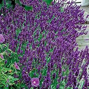 1 Starter Plant Hidcote Blue Lavender in Gallon Pot
