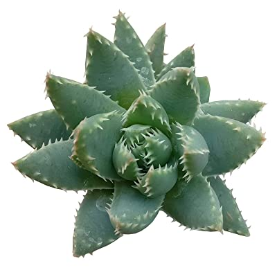 Succulent Aloe Brevifolia Short Leaved Aloe Crocodile Plant Succulent (2'') : Garden & Outdoor