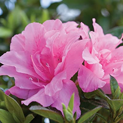 Encore Azalea 1 Gallon Autumn Carnation, Pink Re-Blooming Evergreen Shrub : Garden & Outdoor