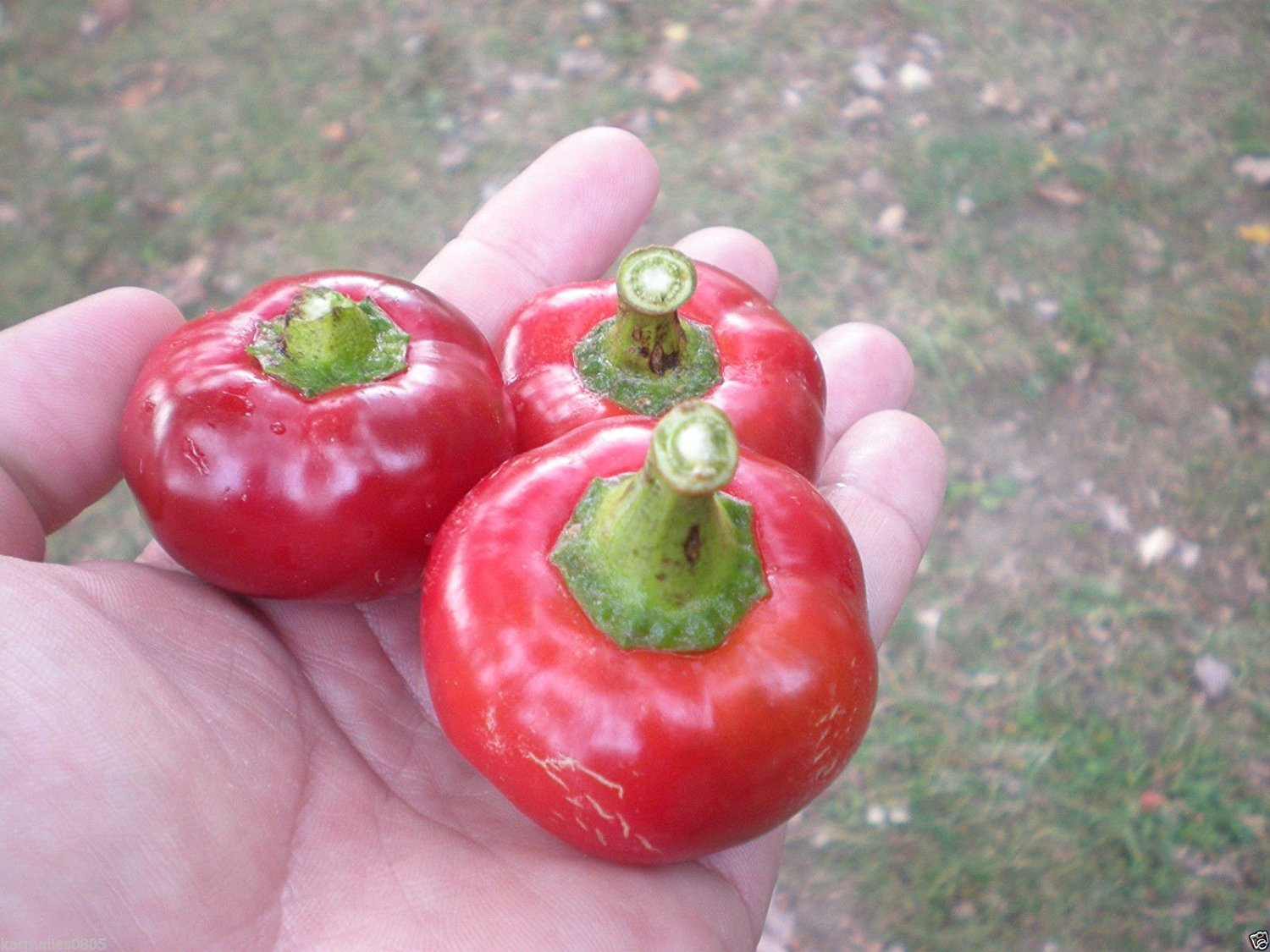 (20) Smooth Tomato Pepper SEEDSExtremely Rare RWS