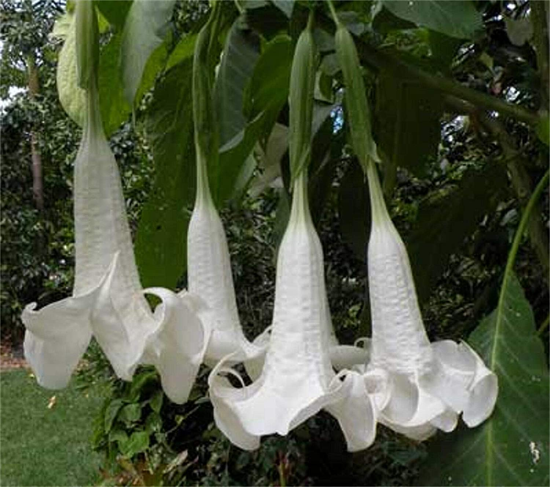 Brugmansia Suaveolens White 10 Seeds BrazilS Angel Trumpet Tree Small Shrub Portal Cool Seeds