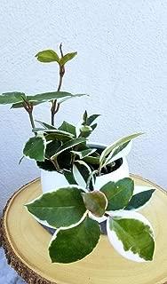 product image for 1 Hoya Carnosa Variegated Tricolor Live Plant (Tri Color)