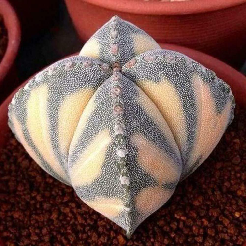 100pcs Cactus Seeds# YESZ 100Pcs Mixed Color Cactus Seeds Succulent Plant Home Garden Bonsai Balcony Decor Plant Seeds Flower Seeds