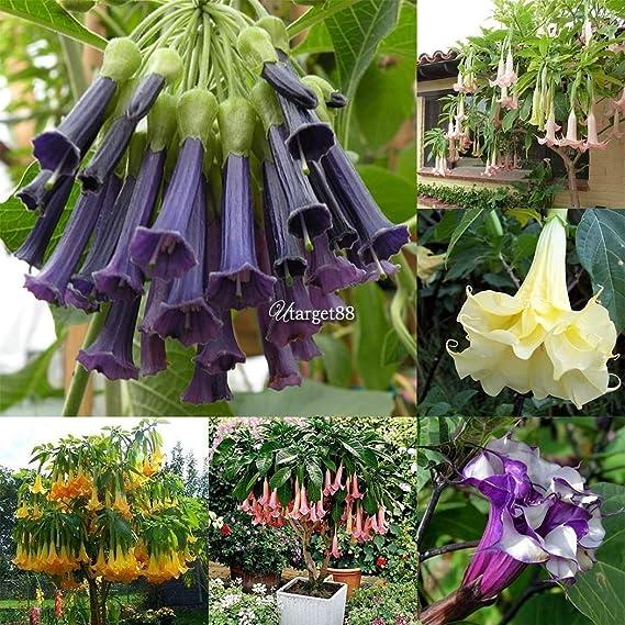 Amazon.com: Portal Cool Peperomia Pellucida Shiny Bush 2.000 ...