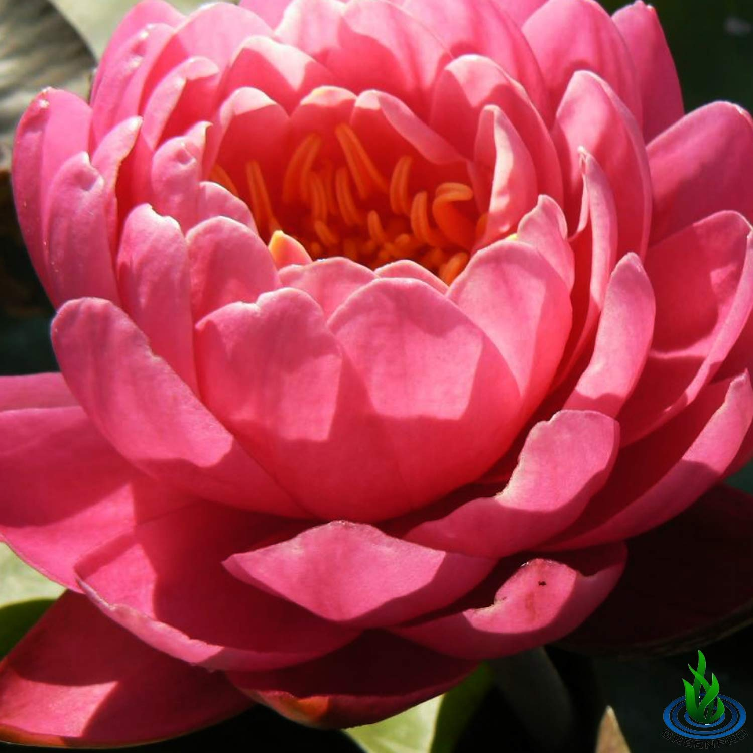Live Water Lily Tuber Nymphaea Perry's Fire Opal Pink Red Hardy Aquatic Plants for Aquarium Freshwater Fish Pond Flower Garden by Greenpro (Image #7)