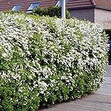 Spirea arguta Hedge - 5 hedge plants