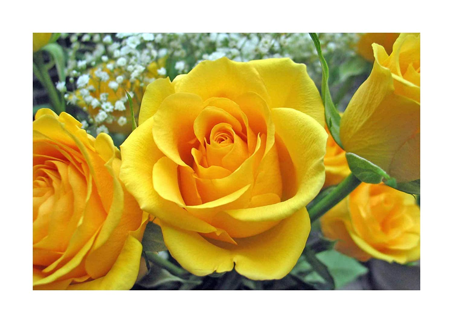 Yellow Rose Hybrid Tea Bare Root Plant by Plug Plants Express Limited
