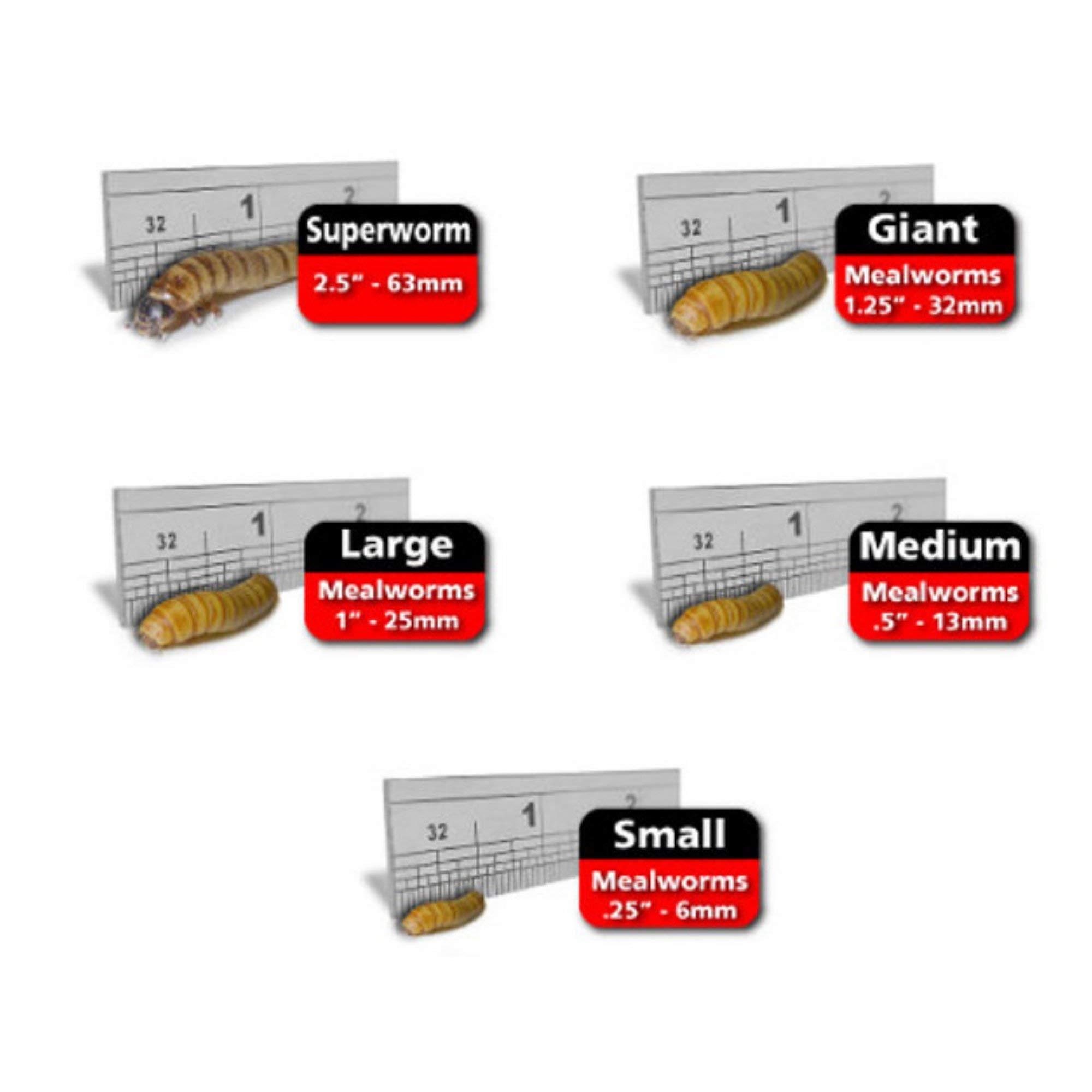 Predator Foods Bulk Super Worms - King Worms Medium (1.5 in) - 1000 Count by Predator Foods
