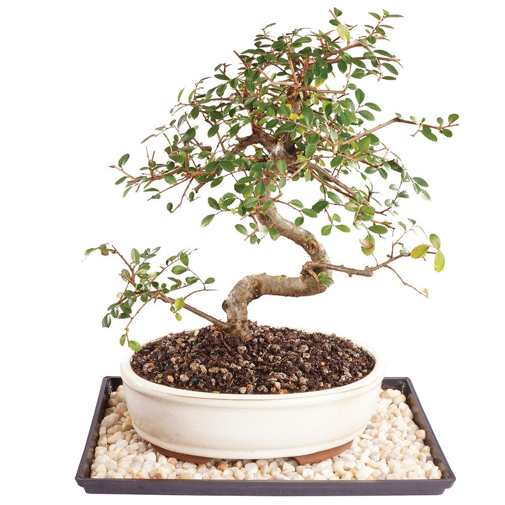 Brussel's Live Chinese Elm Outdoor Bonsai Tree - 9 Years Old; 10'' to 14'' Tall with Decorative Container, Humidity Tray & Deco Rock