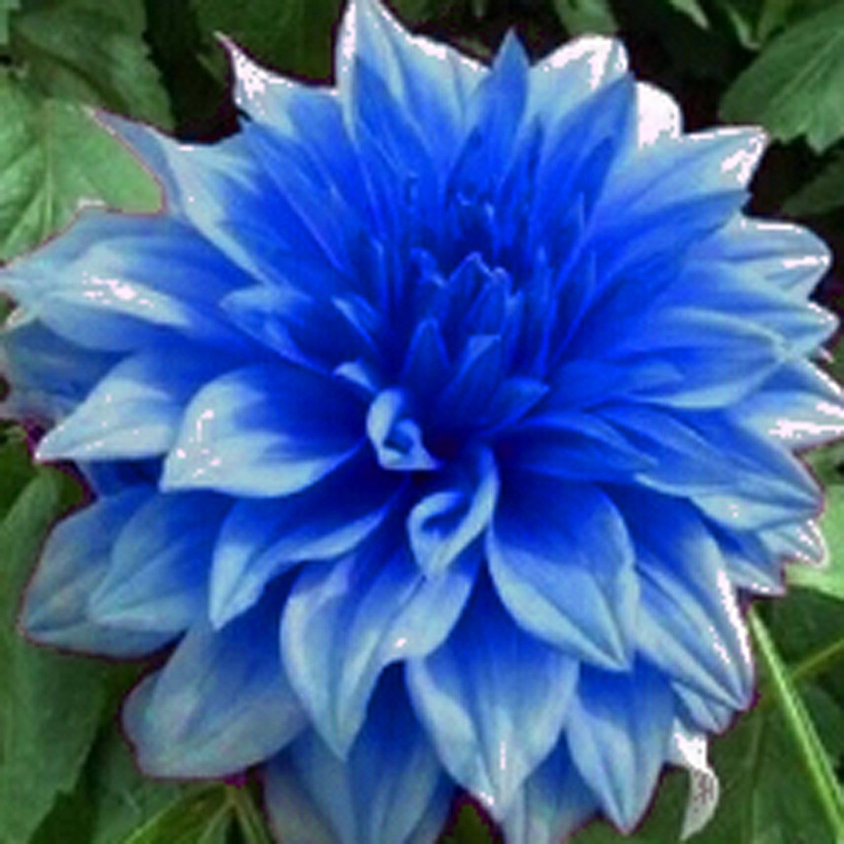 Futaba blue fireball dahlia flower seeds 20 seeds amazon futaba blue fireball dahlia flower seeds 20 seeds amazon garden outdoors izmirmasajfo