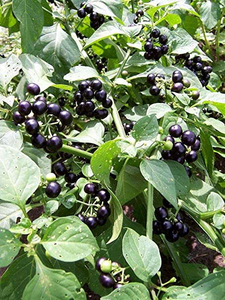 Bulk Garden Huckleberry Bush Great For Gems Jelly Pies 350 Annual Seeds By Helens Garden Amazon Ca Toys Games