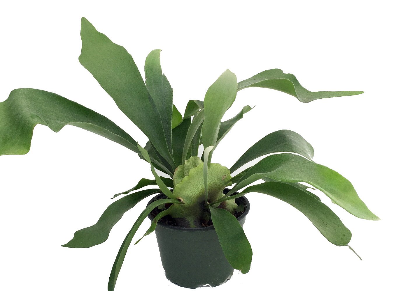 Staghorn Fern 6'' - Exotic Houseplant - 6'' Pot