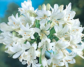 Cottage garden bulbs 2 x white agapanthus africanus albus white cottage garden bulbs 2 x white agapanthus africanus albus white nile lily hardy mightylinksfo Images