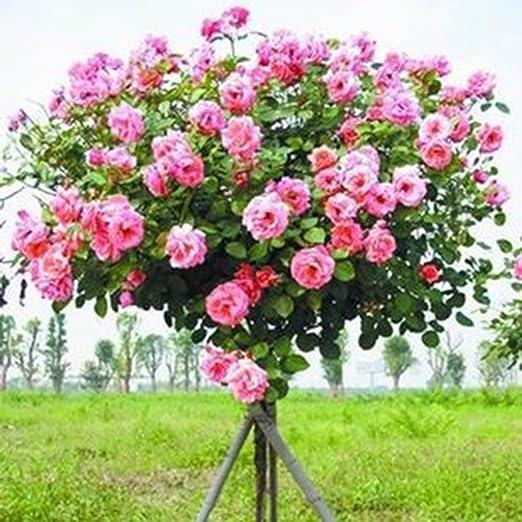 Lonlier Semillas de Rosas 10/20/50 pcs Semillas Arboles Flores para Jardin, Huerto, Patio: Amazon.es: Jardín