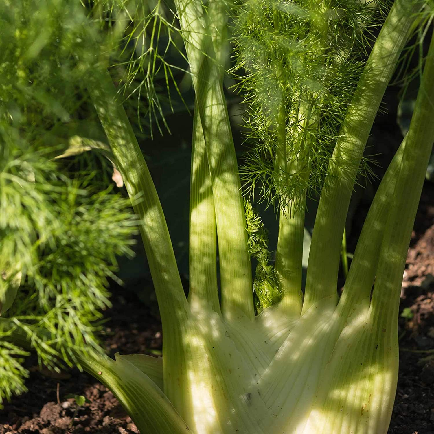 Florence Fennel - 1 g ~300 Seeds - Heirloom, Open Pollinated, Non-GMO, Culinary Herb Gardening & Micro Greens Seeds