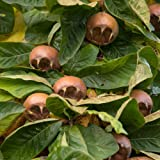 Thompson & Morgan Hardy Crab Medlar Fruit Tree 'Nottingham' 1 x Bare Root Plant, Self-Fertile, High Yielding Ideal for Kitchen Gardens, Allotments, Patio and Containers