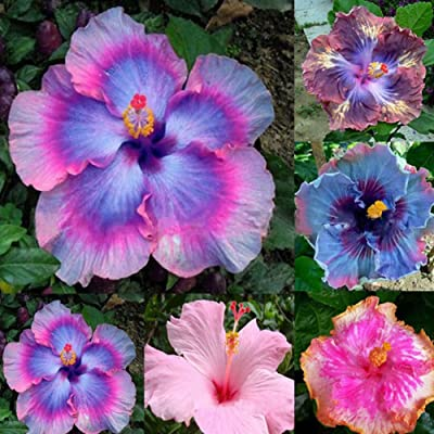 AT27clekca Giant Hibiscus Seeds Repair Tool 100Pcs Rare Rainbow Color Giant Hibiscus Seeds Potted Plant Perennial Flower Seed : Garden & Outdoor