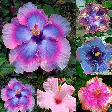 Amazoncom Braceus 100pcs Rare Rainbow Color Giant Hibiscus Seeds