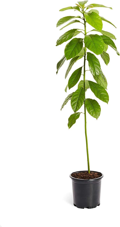 Avocado Tree 2-3/'