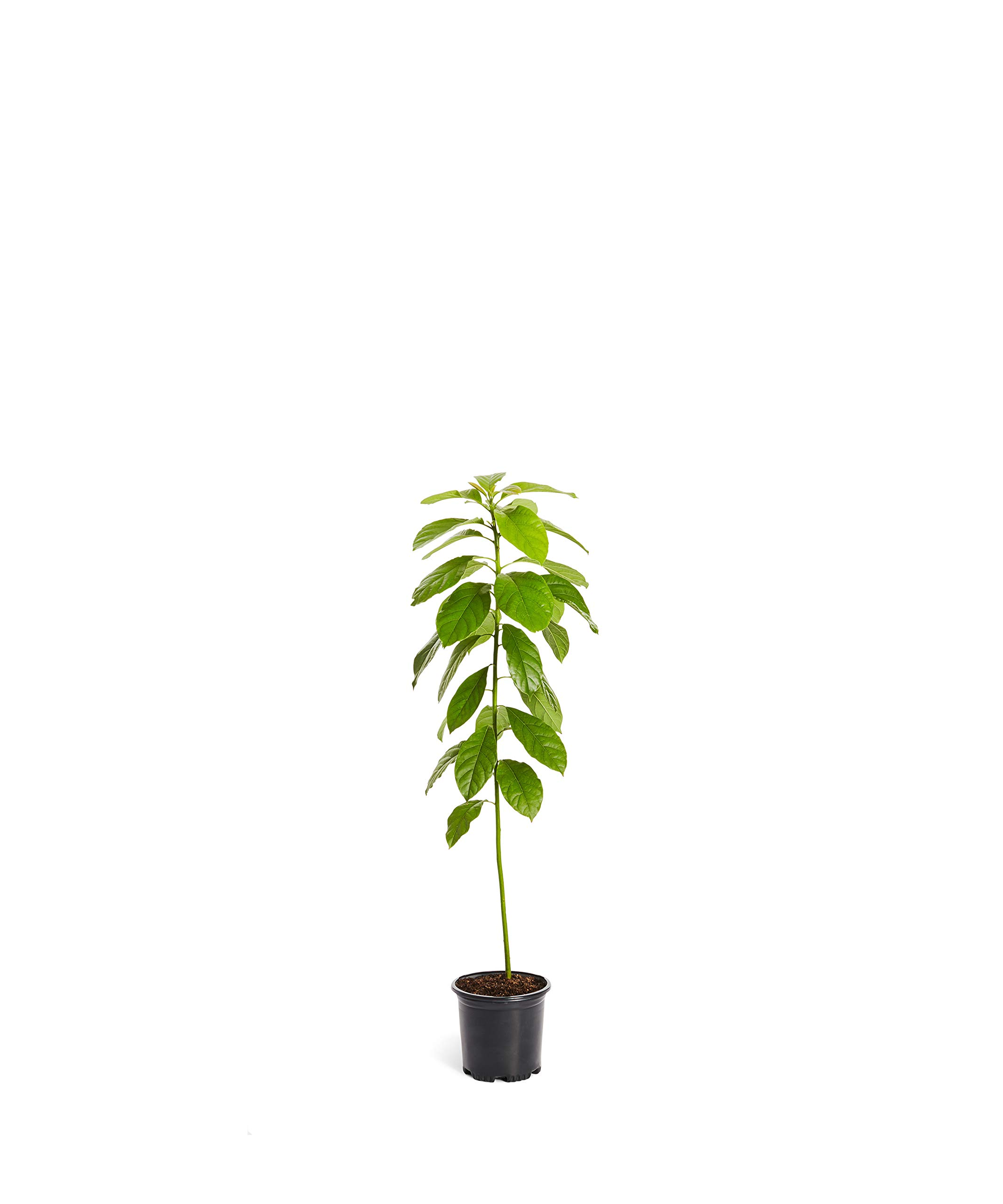 HASS Avocado Tree - Large Indoor/Outdoor Avocado Trees, Ready to give Fruit - Get Delicious Avocado Fruit Year Round from This Patio Fruit Tree - 1-2 ft. by Brighter Blooms