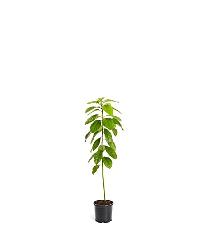 HASS Avocado Tree - Large Indoor/Outdoor Avocado Trees, Ready to give Fruit  - Get Delicious Avocado Fruit Year Round from This Patio Fruit Tree - 1-2