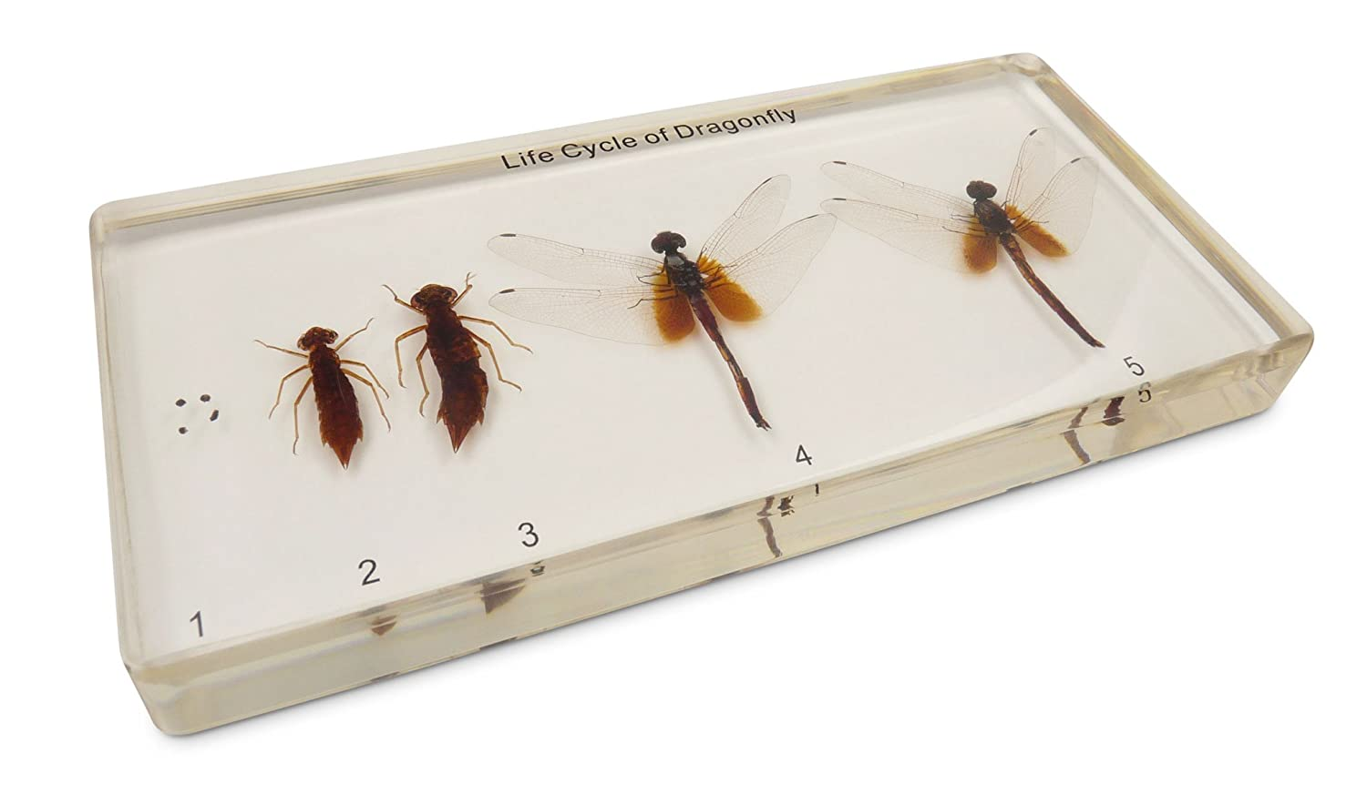 Taxidermy Specimen, Unique, Resin Paperweight, Dragonfly Development Life Cycle in Acrylic Block, Complete with All 5 Growth Stages, Talkative Decoration or Educational Tool Luminoptic M7-OIBT-S2EL