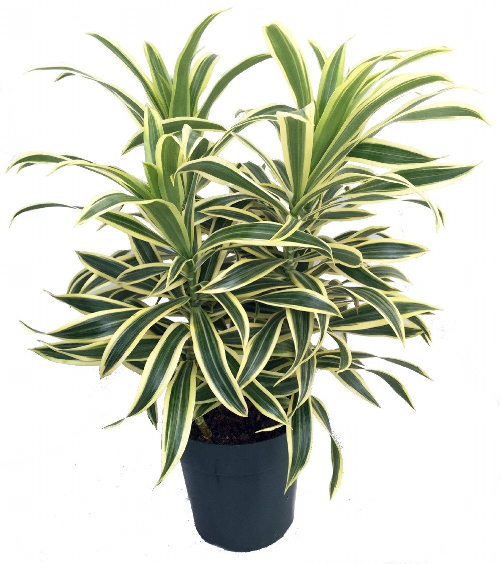 Song of India Dragon Tree - Pleomele - Dracaena -6'' Pot-Easy to Grow House Plant by Hirt's Gardens (Image #1)
