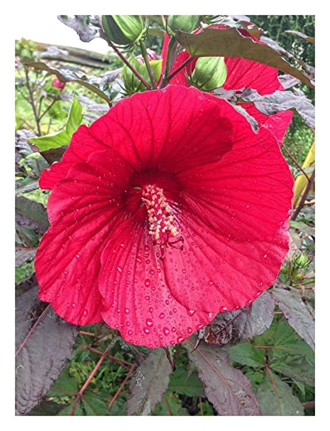 Hibiscus Moscheutos Midnight Marvel Swamp Rose Mallow Plant In 9cm