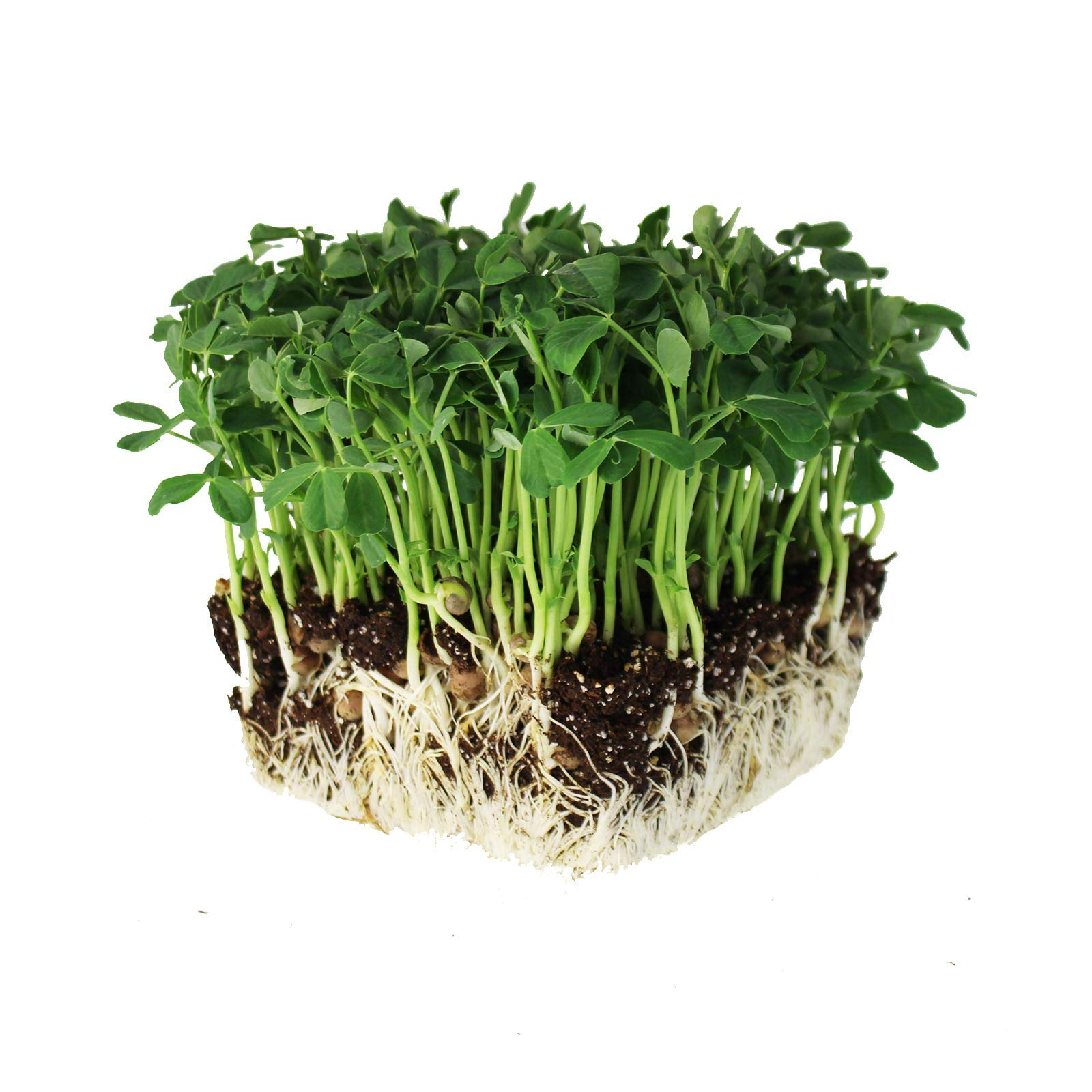 Speckled Pea Sprouting Seeds - 50 Lbs Bulk - Certified Organic, Non-GMO Green Pea Sprout Seeds - Sprouts & Microgreens by Mountain Valley Seed Company