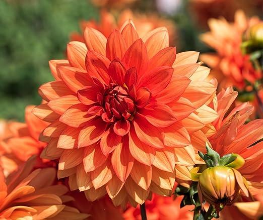 Red Yellow Orange Pink Dark Red Mixed 9 Colors Dwarf Dahlia Flower Seeds 30