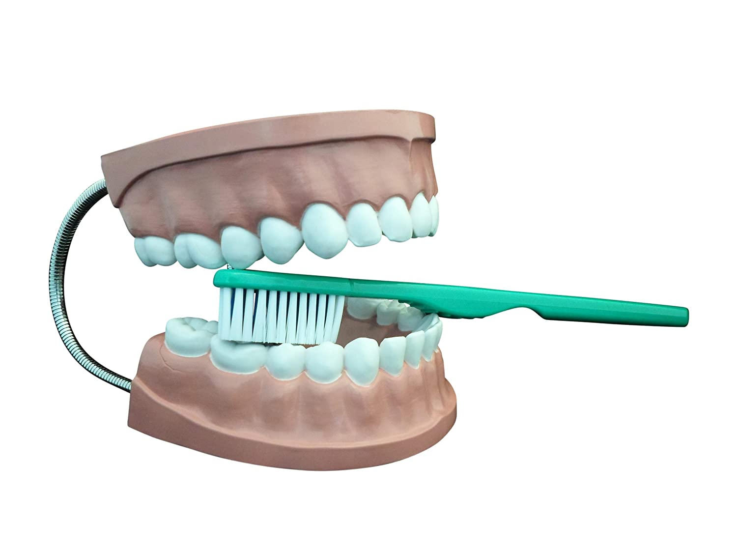 Ajax Scientific AN020-0002 Plastic Dental Care Model with Giant Toothbrush, 6 x 4.5 x 5 Inches