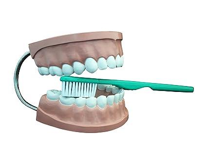 Ajax científica AN020 – 0002 plástico dental modelo de atención con cepillo de dientes gigante,