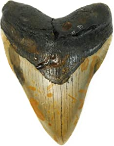 "Exact Tooth as Shown in Image - Gargantuan Monster Megalodon Fossilized Shark Tooth with a Free 8-1/2"" x 11"" Certificate of Authenticity and Custom Acrylic Tooth Stand (5.520"")"