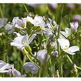 4er-Set im Gratis-Pflanzkorb - Cardamine pratensis - Wiesenschaumkraut - Wiesenkresse, weiß-rosa - Wasserpflanzen Wolff