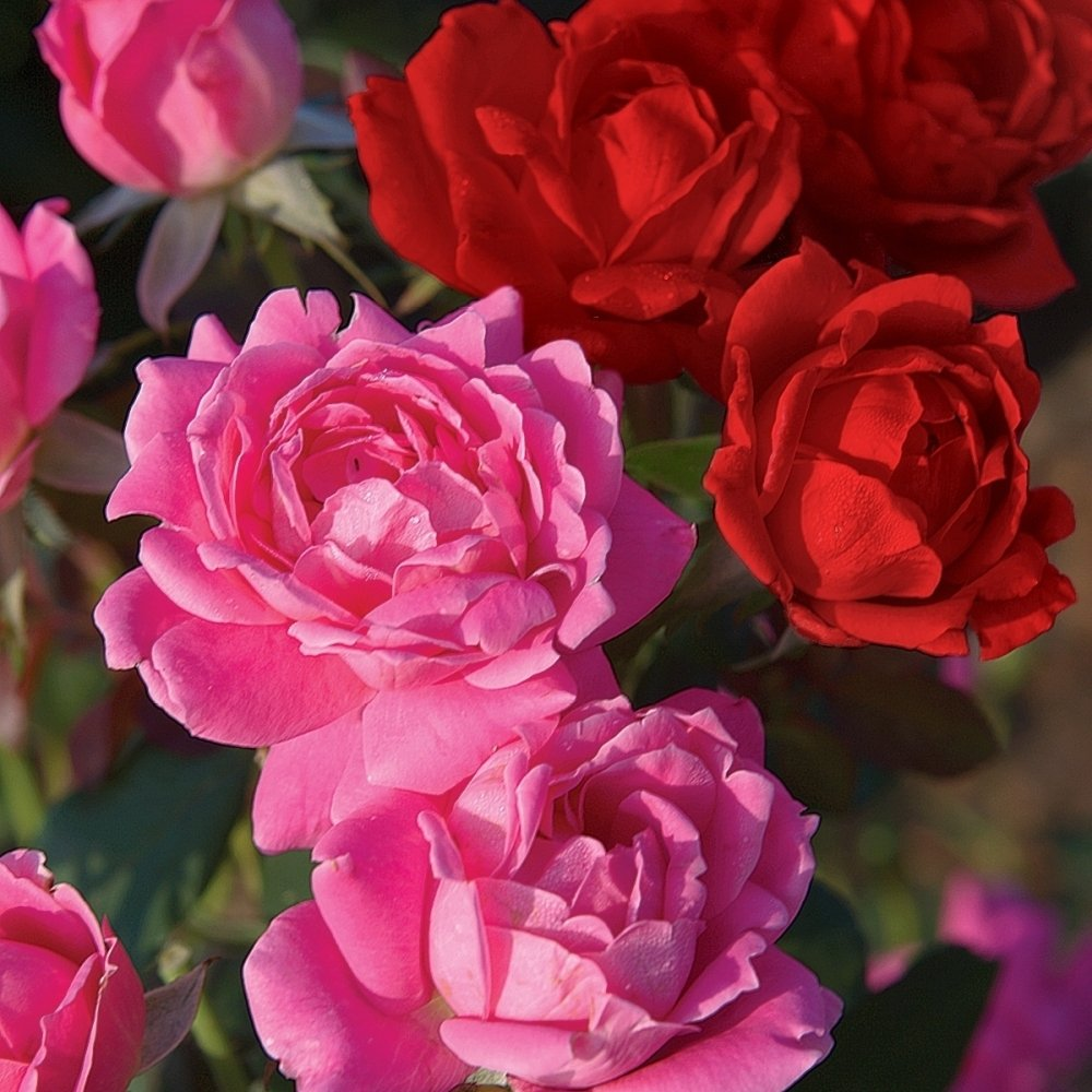 Knock Out   Roses 2N1 4 Piece Double-Double Knock Out Rose Collection Flowering Plants, 4'' Pots