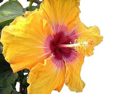 Amazoncom Eye Of Kali Tropical Exotic Cajun Fancy Hibiscus Live